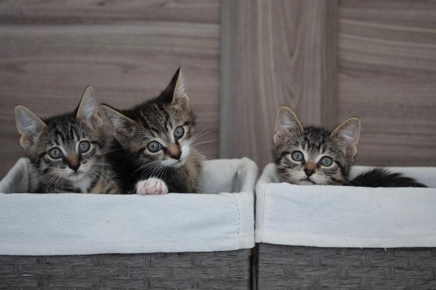 ¡Salvemos a los Gatitos!
